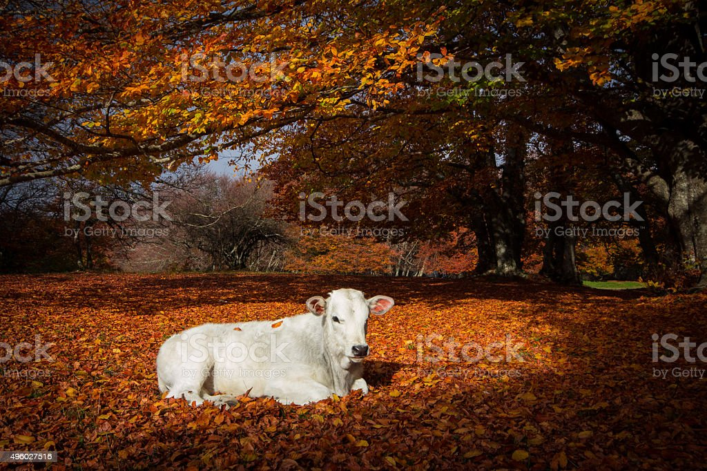 Newborn calf on autumn foliage of Canfaito reserve stock photo