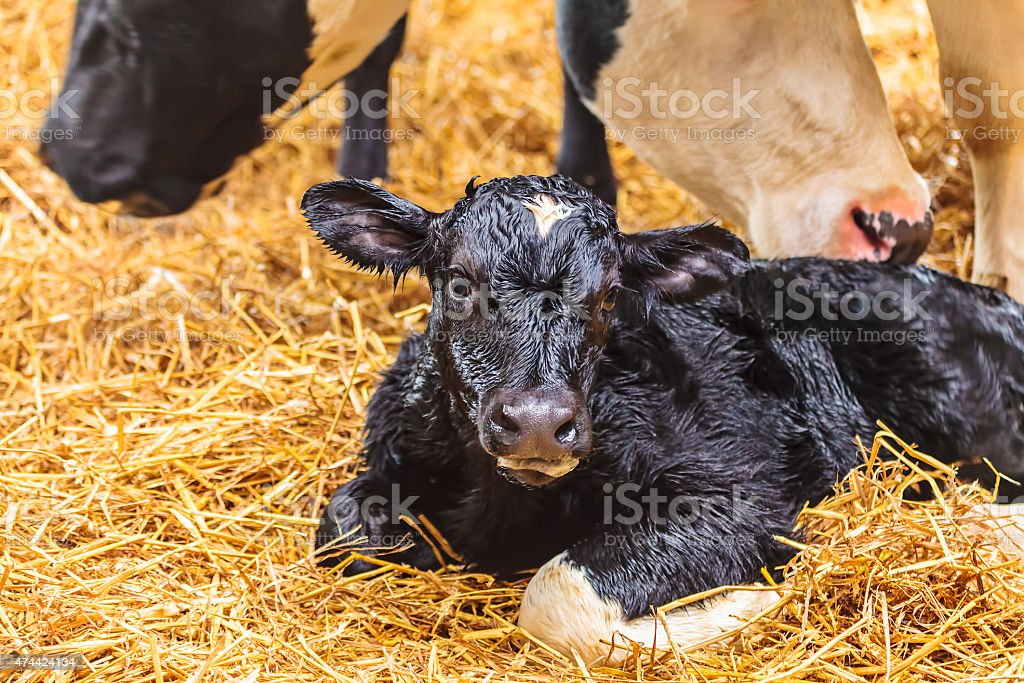 Newborn calf on hay in a farmhouse stock photo