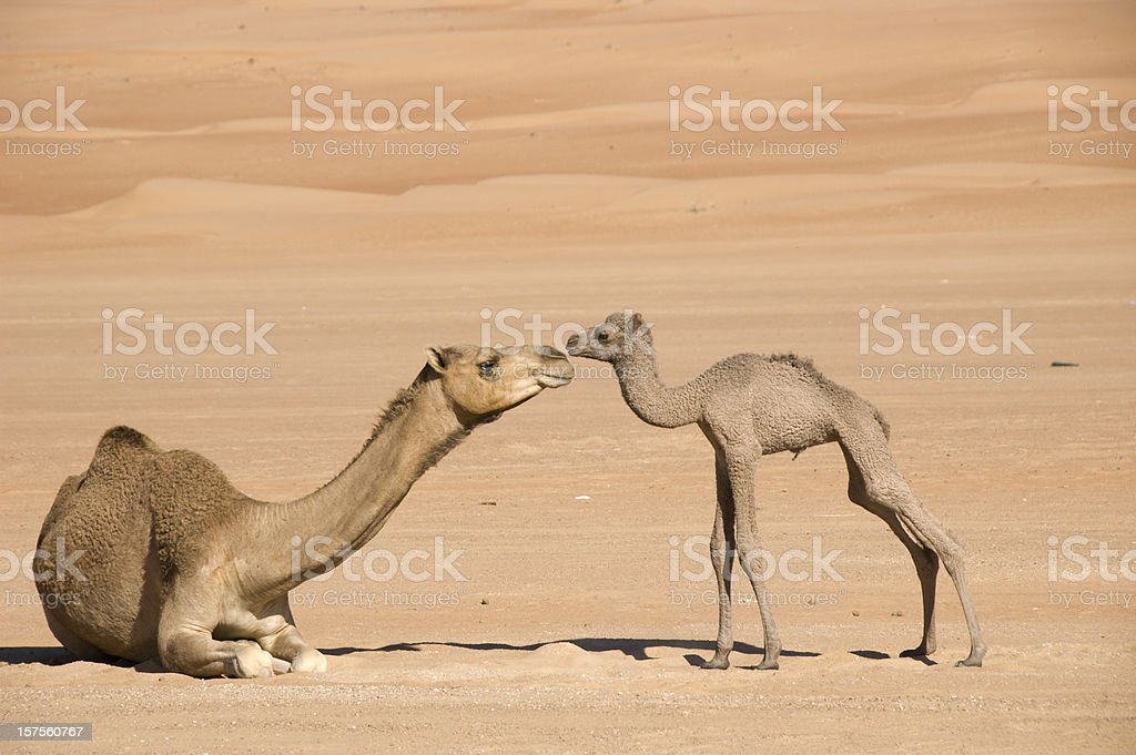 Newborn camel and its mother bonding together in the desert stock photo