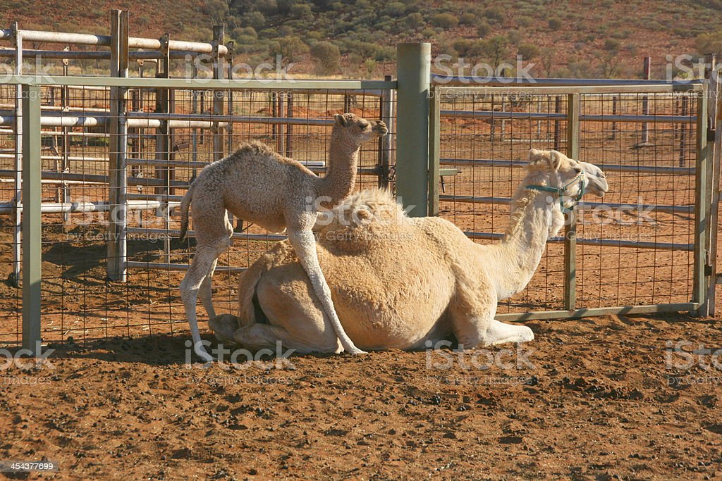 Newborn camel with a mom, nothern territory, australia royalty-free stock photo