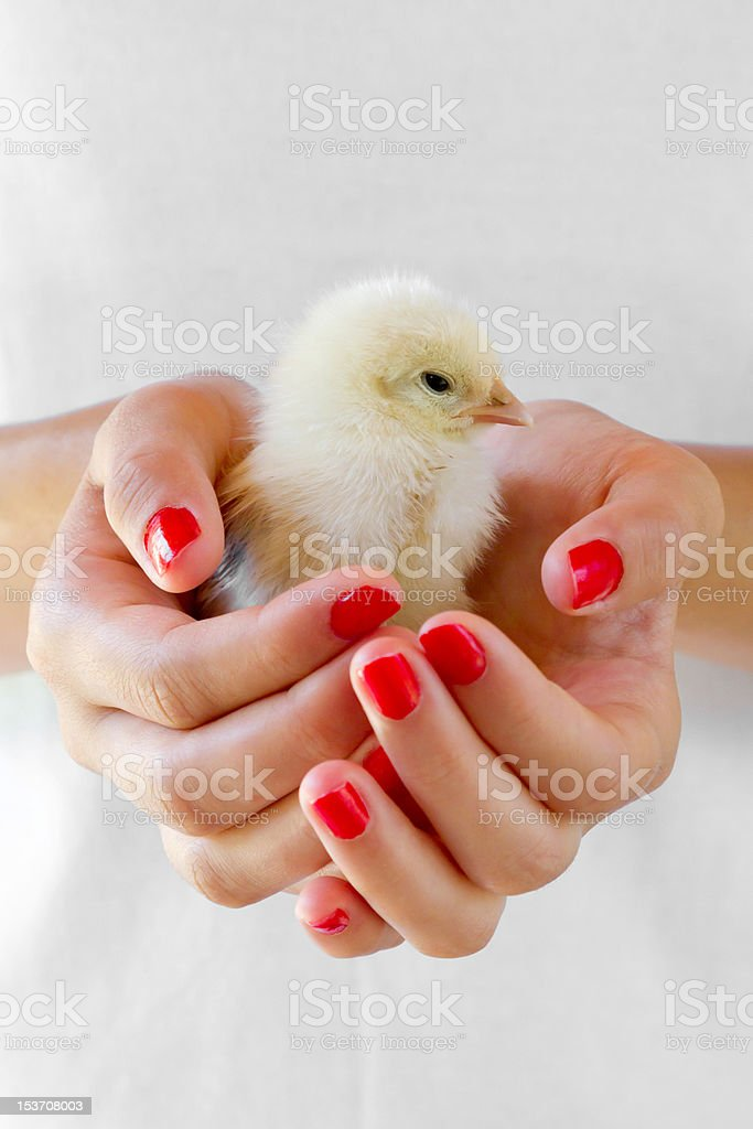 Newborn chick in hands. royalty-free stock photo