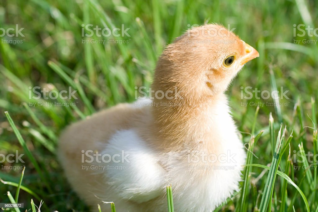 Newborn chicken in the grass royalty-free stock photo
