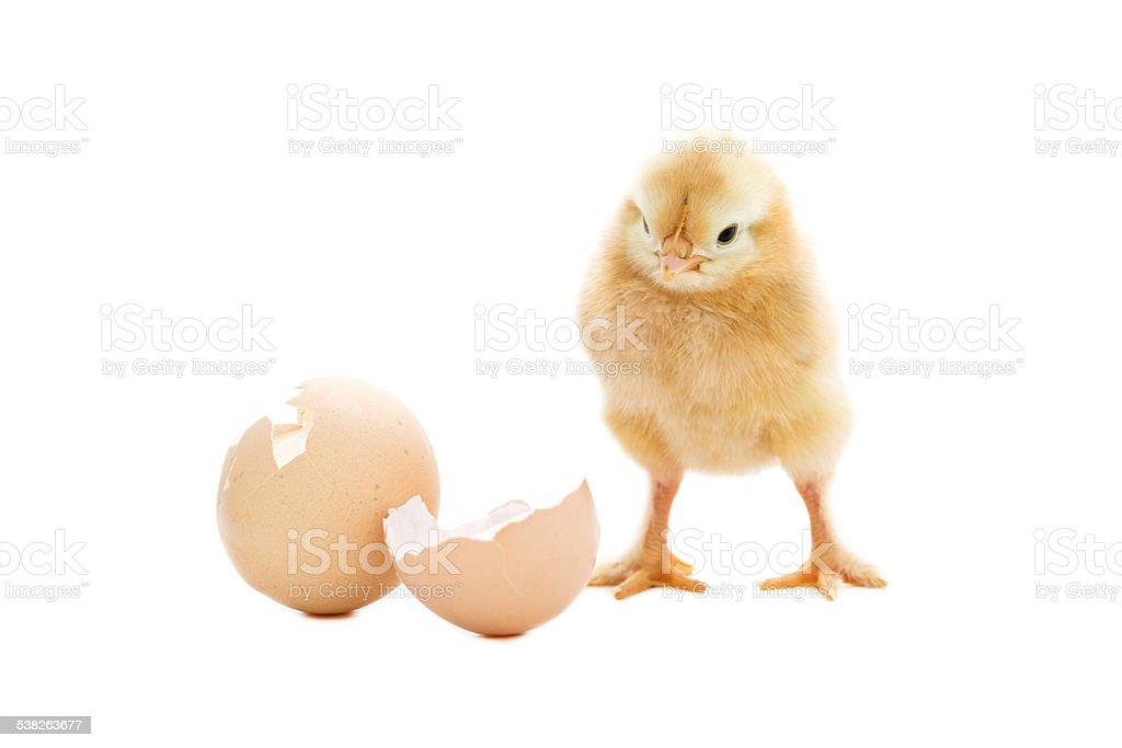 Newborn chicken stock photo