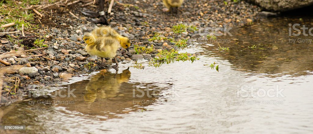 Newborn chicks move along the shorline looking for food