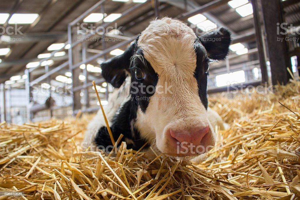 Newborn dairy calves stock photo