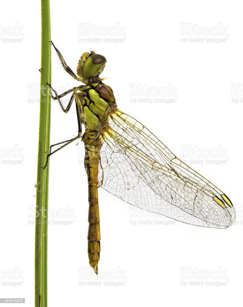 Newborn Dragonfly isolated on white stock photo