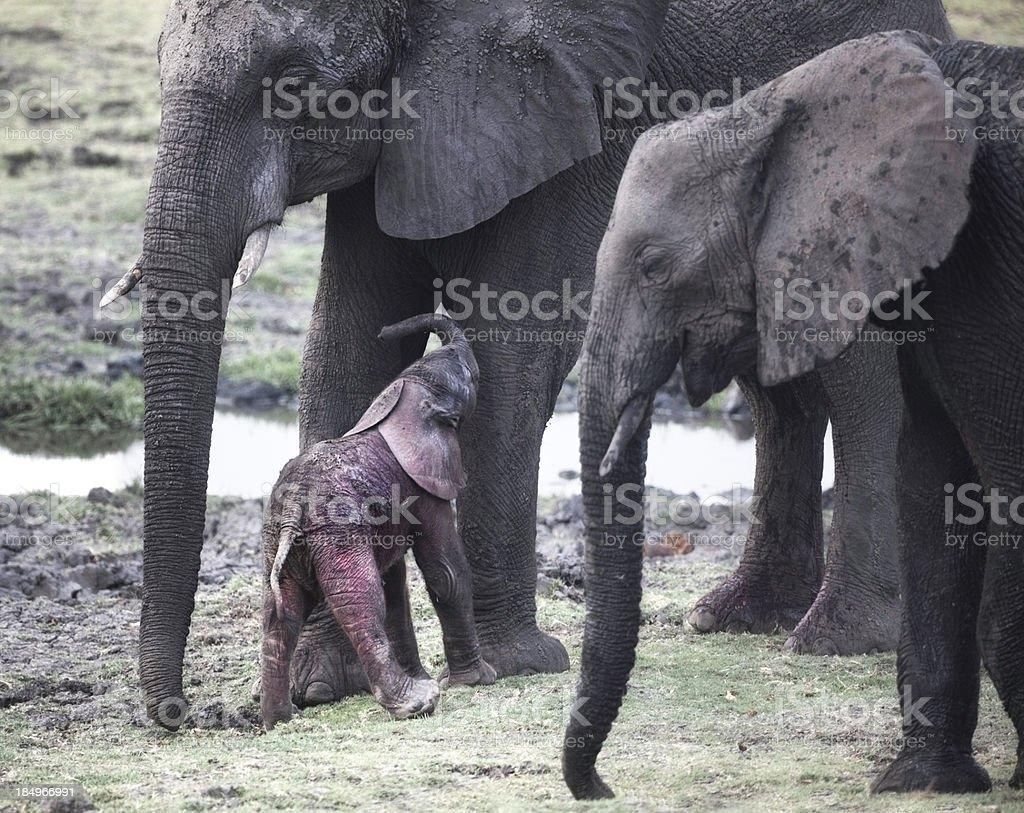 Newborn elephant; first steps royalty-free stock photo