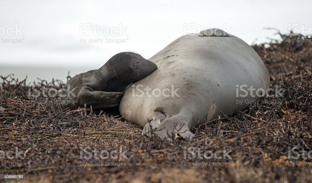 Newborn Elephant Seal Lays Pacific Beach Parent Mammal Mother stock photo
