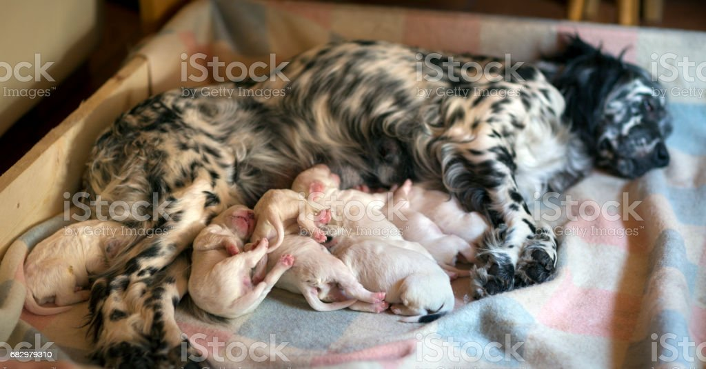 Newborn English Setter puppies sleeping and eating, Italy stock photo