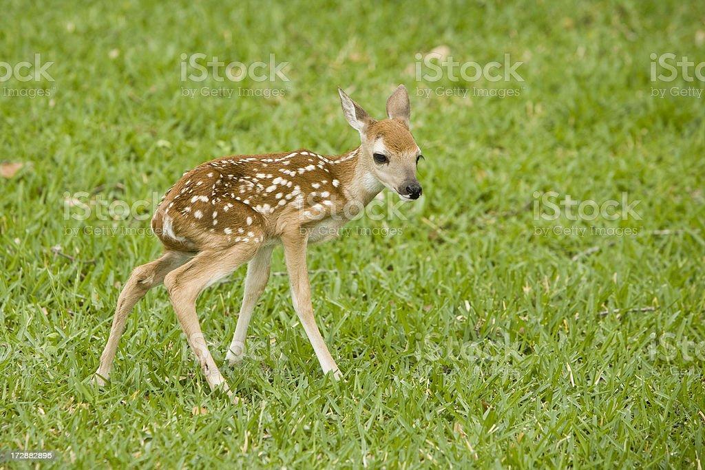 newborn fawn royalty-free stock photo