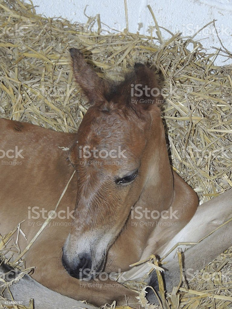 Newborn foal laying on straw in stable royalty-free stock photo
