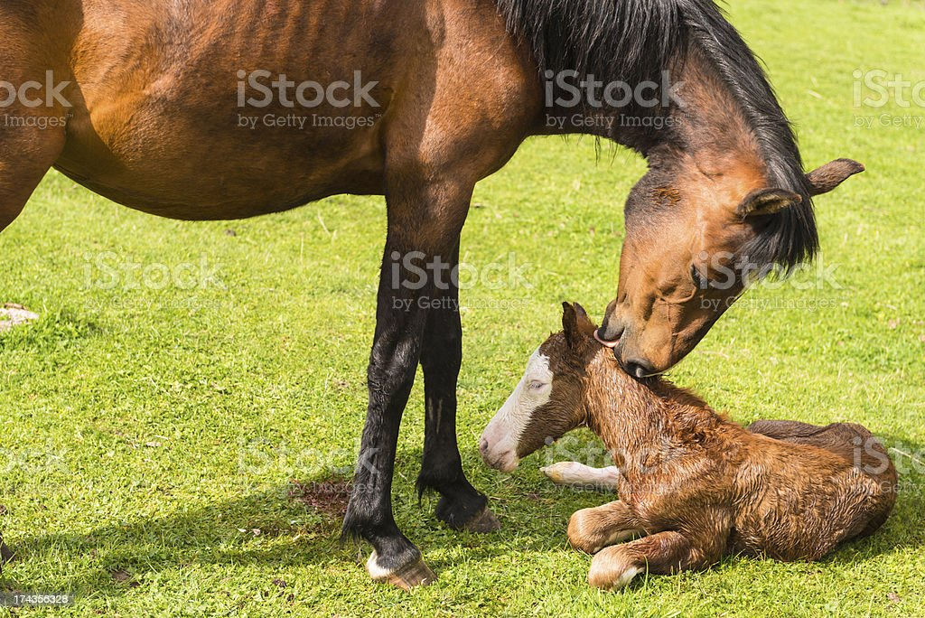 Newborn foal royalty-free stock photo