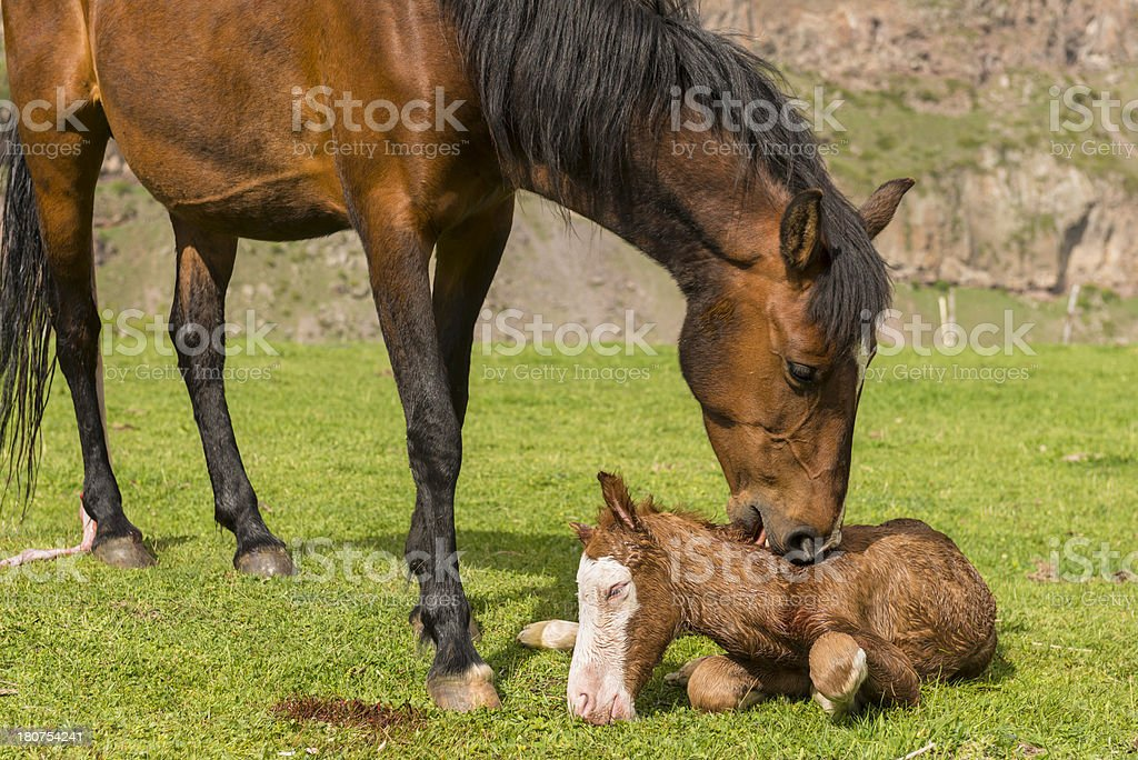 Newborn foal royalty-free stock photo