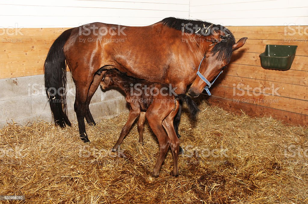 newborn foal trying to drink stock photo