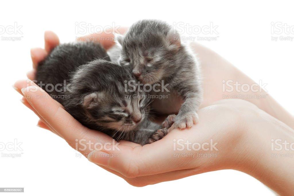 Newborn gray kittens in hands. stock photo
