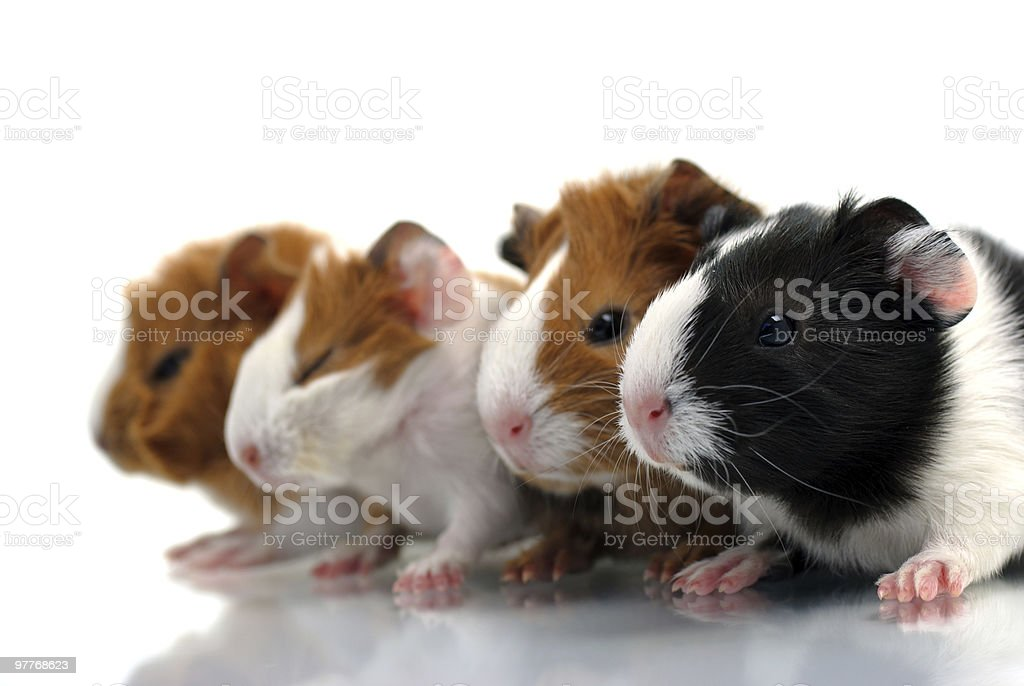 Newborn guinea pigs stock photo