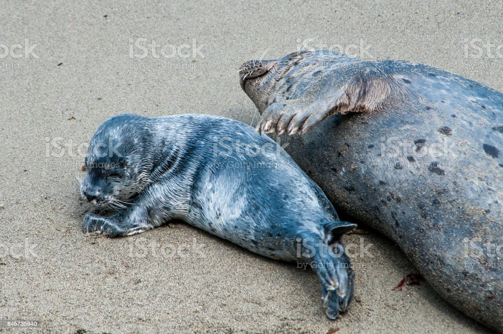 Newborn Harbor Seal Pup stays close to its mom. stock photo