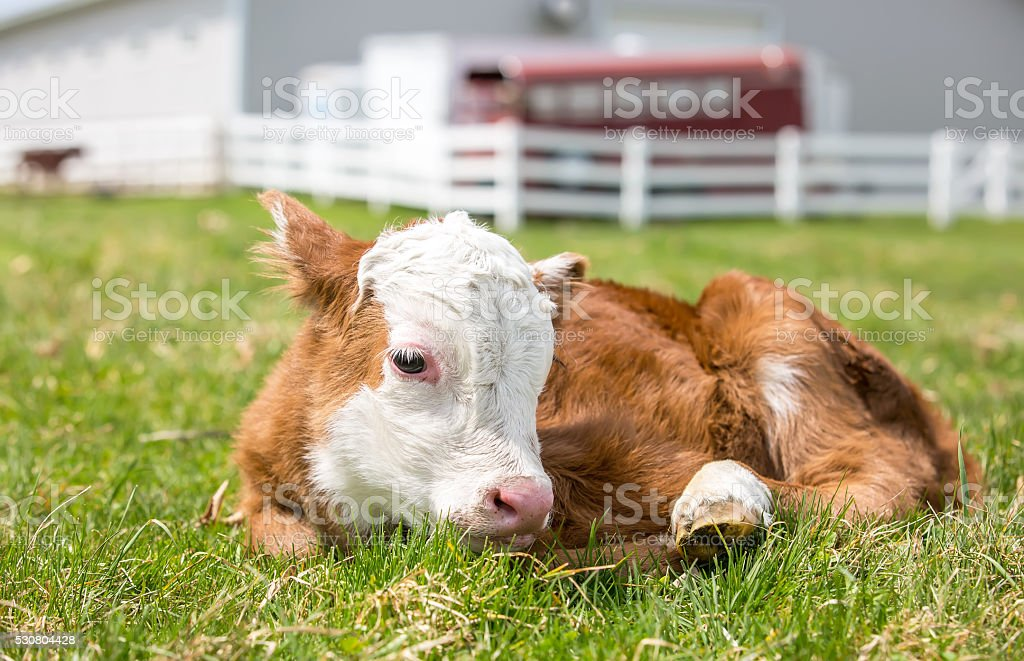 Newborn Hereford Calf Laying Down in Pasture stock photo