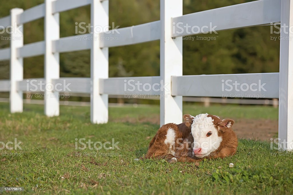 Newborn Hereford Calf stock photo