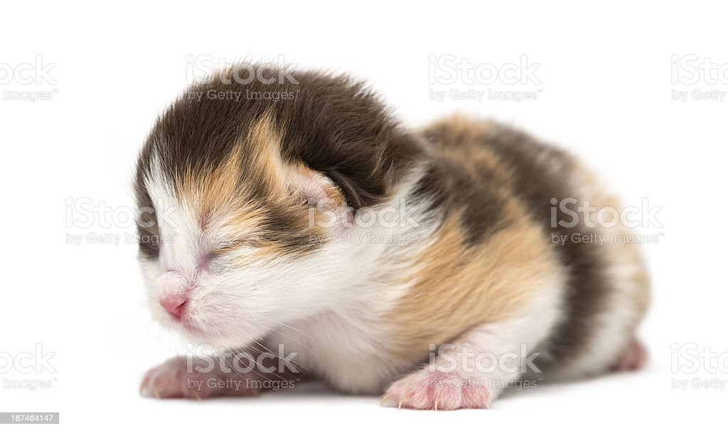 New-born Highland straight or fold kitten lying, 1 week old stock photo