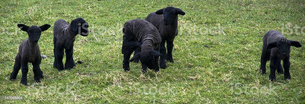 Newborn Irish Wicklow Lambs royalty-free stock photo
