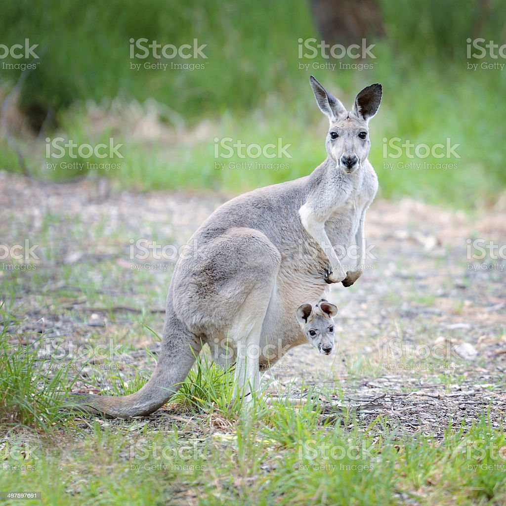 Newborn Kangaroo peaking out of Mother's Pouch stock photo