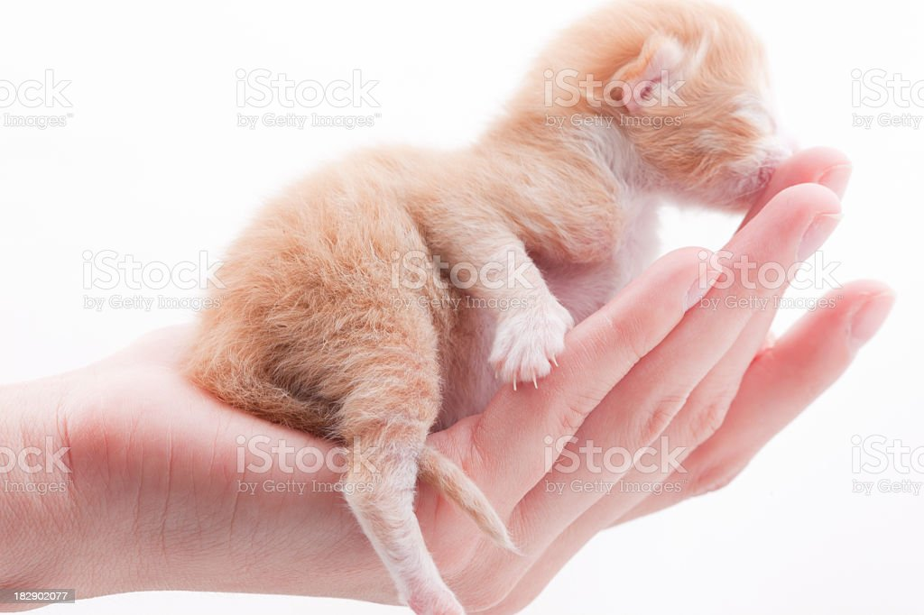 Newborn Kitten: mini PAW royalty-free stock photo