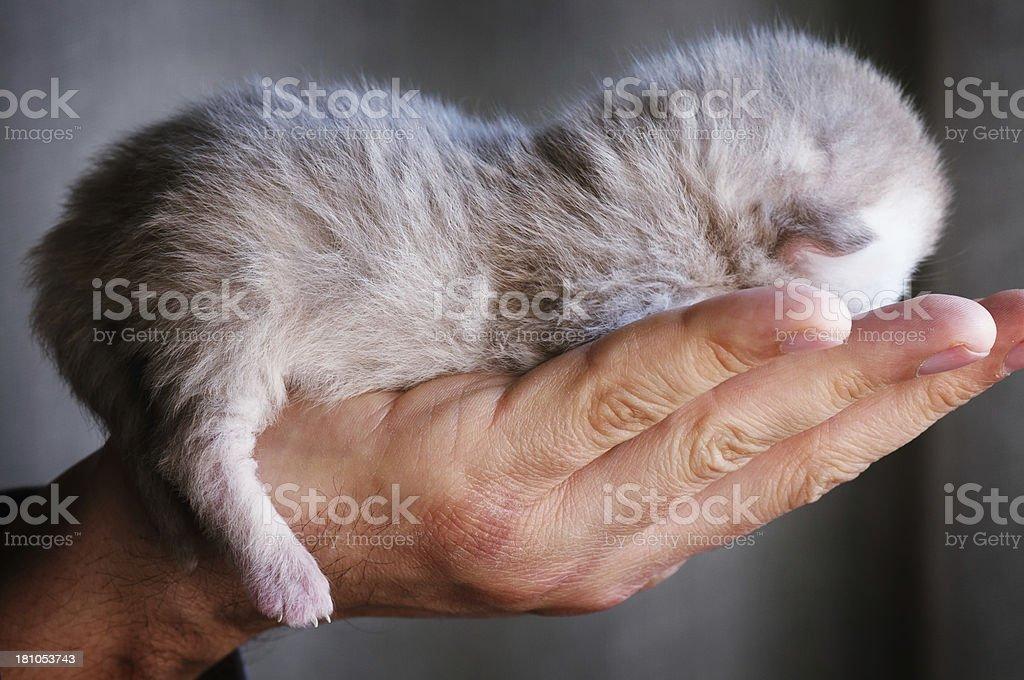 Newborn Kitty royalty-free stock photo