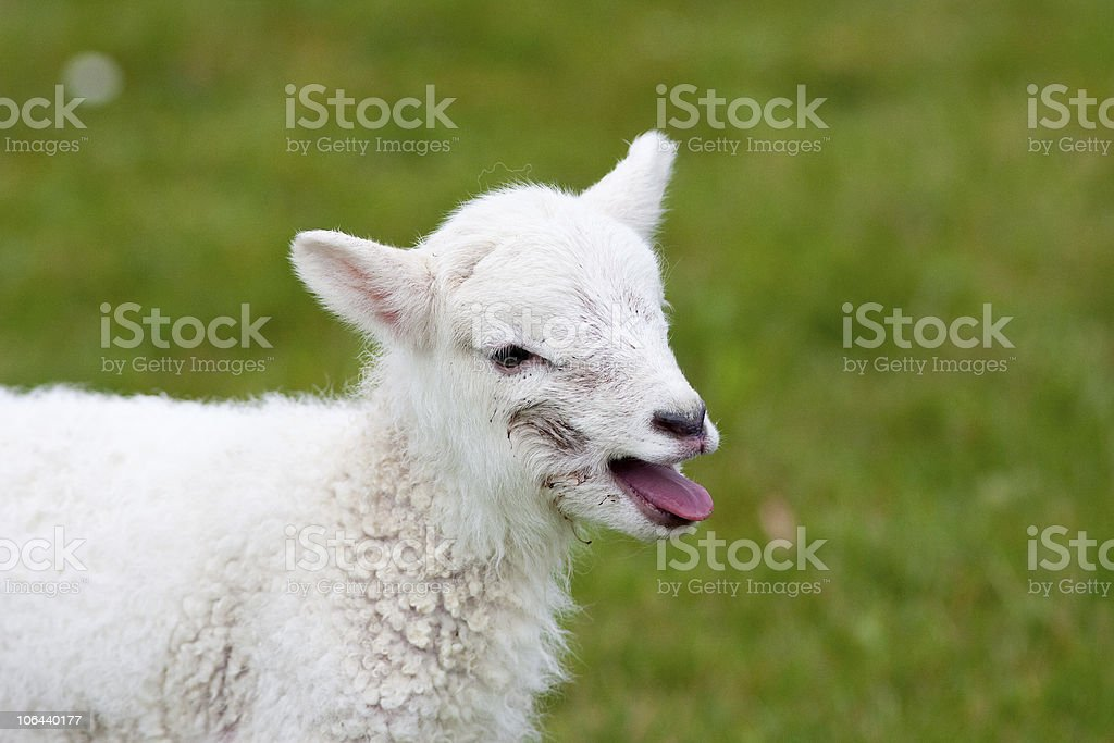 Newborn Lamb Bleating for Its Mother stock photo