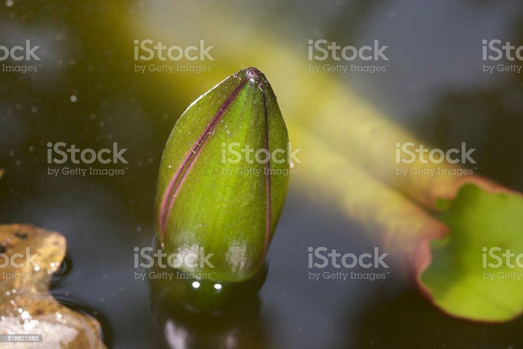 Newborn lotus stock photo