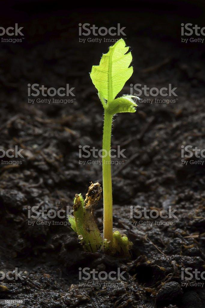 Newborn oak royalty-free stock photo
