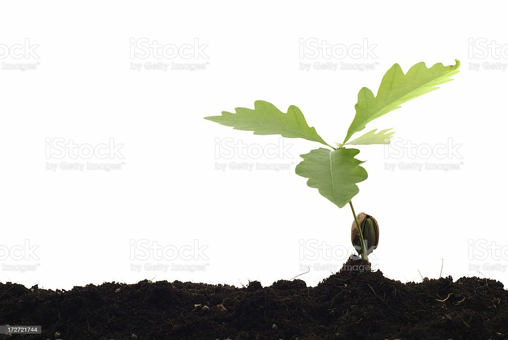Newborn oak tree - isolated royalty-free stock photo