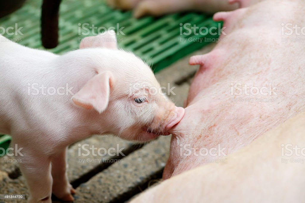 Newborn piglets suck the breasts of his mother stock photo