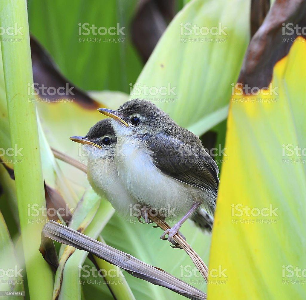 Newborn Plain Prinia ,nature  in Thailand royalty-free stock photo