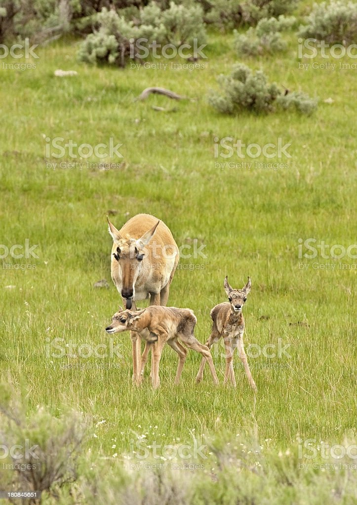 Newborn pronghorn pair with mother Yellowstone NP royalty-free stock photo