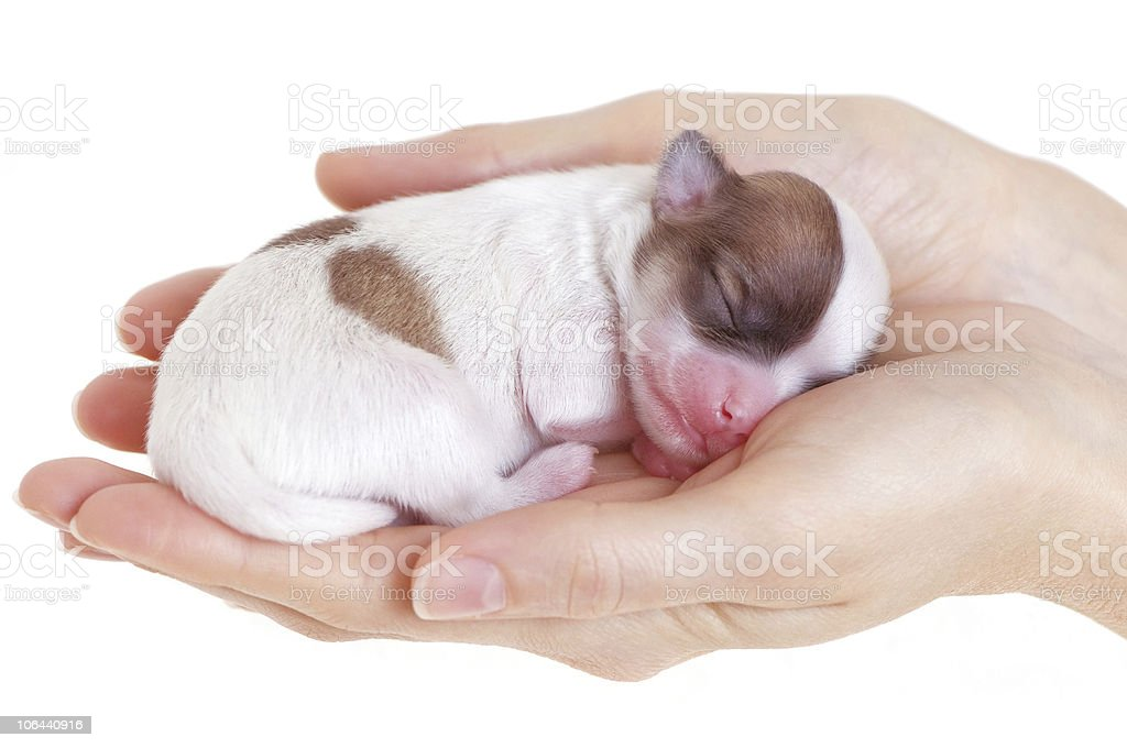 Newborn puppy in the caring hands royalty-free stock photo