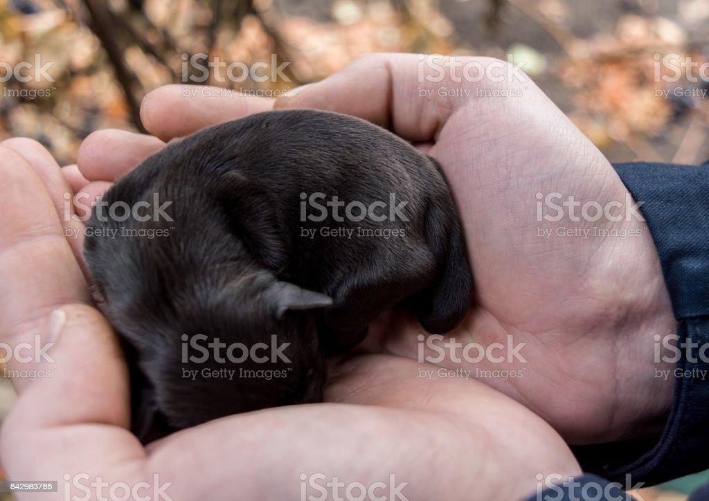 Newborn puppy in the hands of men. stock photo