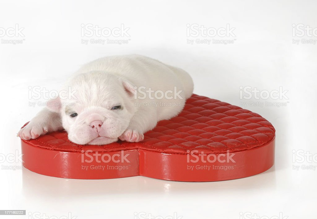 newborn puppy royalty-free stock photo