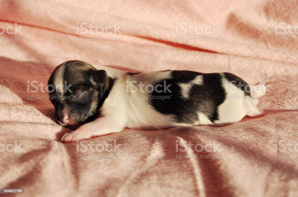 Newborn Sable Parti Havenese Puppy snoozing stock photo