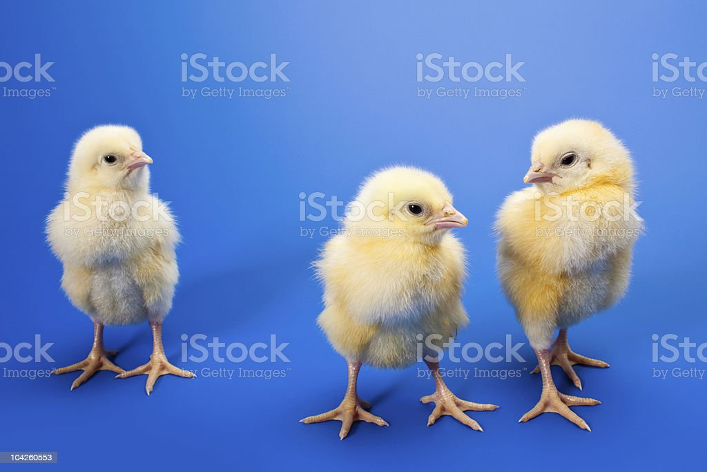 newborn small chicken on blue royalty-free stock photo
