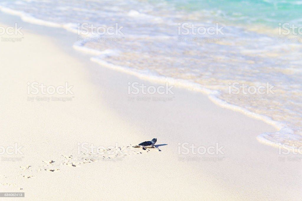 Newborn Turtles is Entering the Sea stock photo
