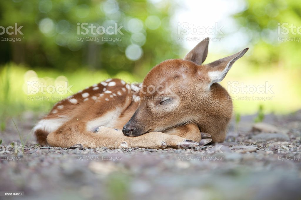 Newborn White-Tailed Deer Fawn Sleeping in Woods Clearing stock photo