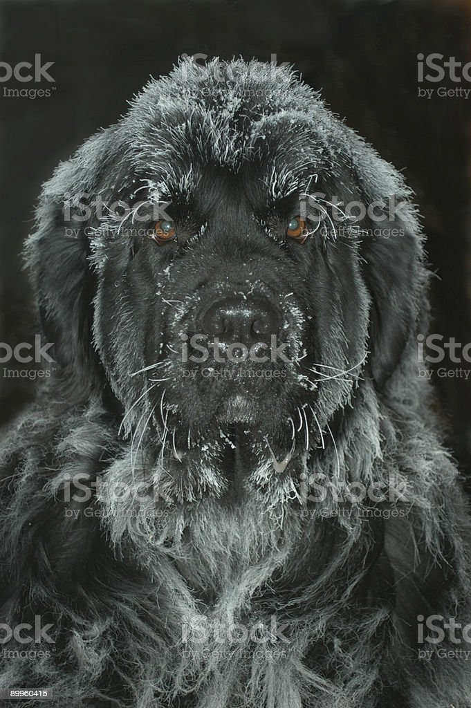 Newfie in ice royalty-free stock photo