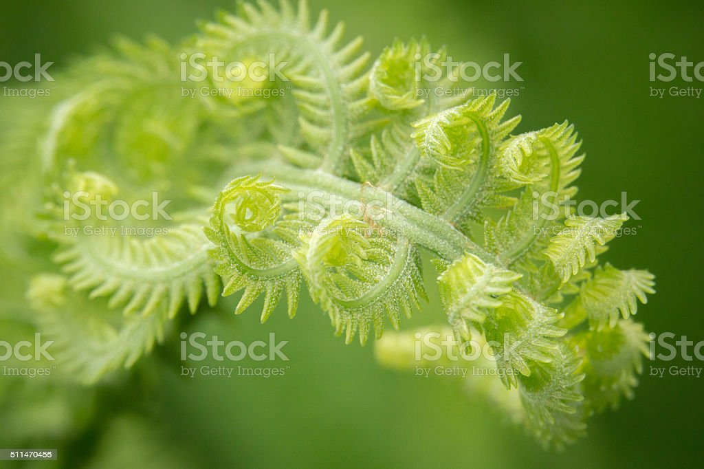 Newfoundland Close View of Curled Fronds stock photo