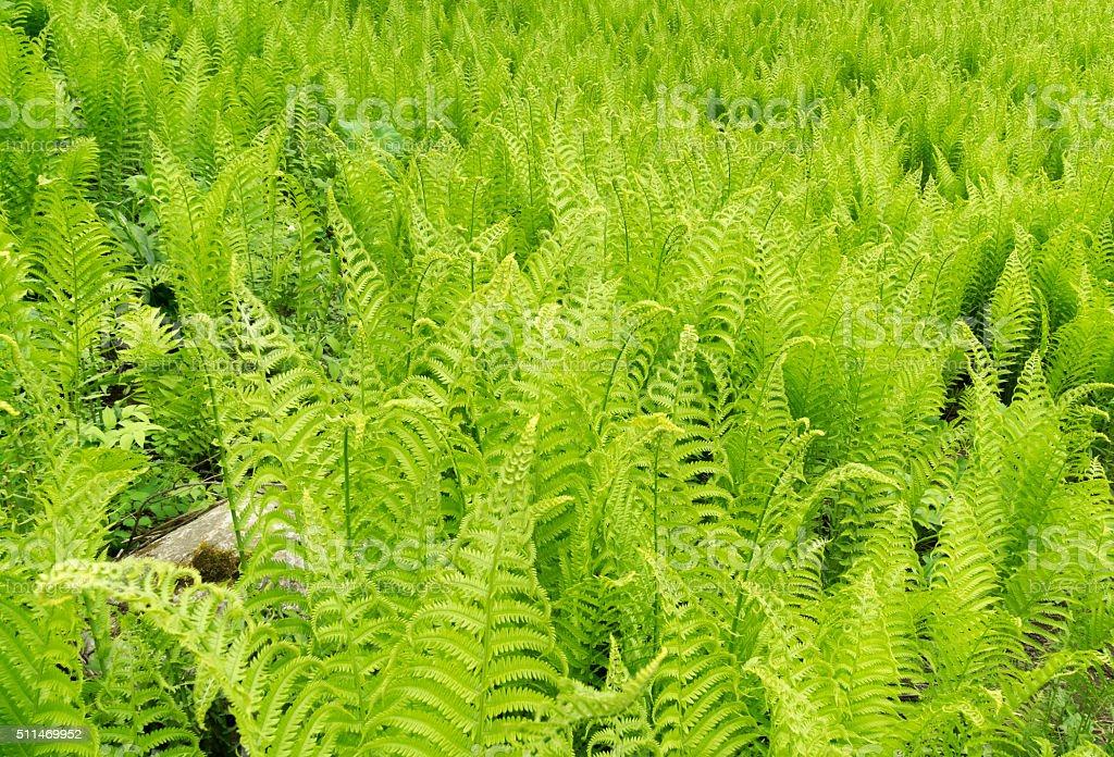Newfoundland Colony of Ferns stock photo