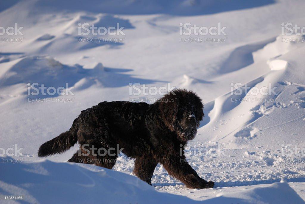 Newfoundland Dog in Nunavut stock photo