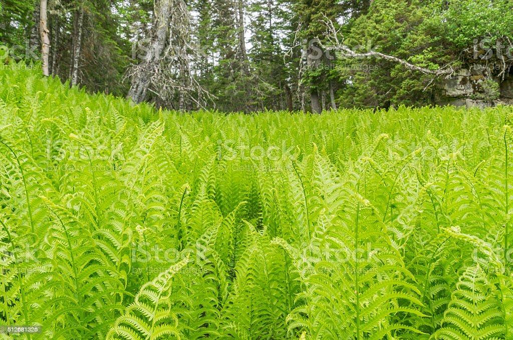 Newfoundland Ferns on a Hill stock photo