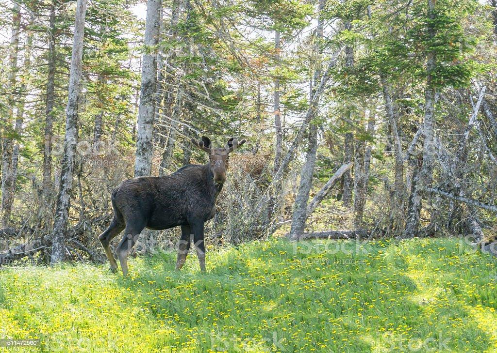 Newfoundland Moose in Flowers stock photo