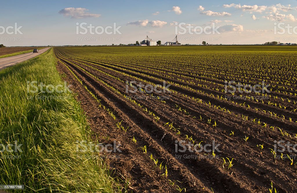 Newly emerging corn crop shown in evening light stock photo