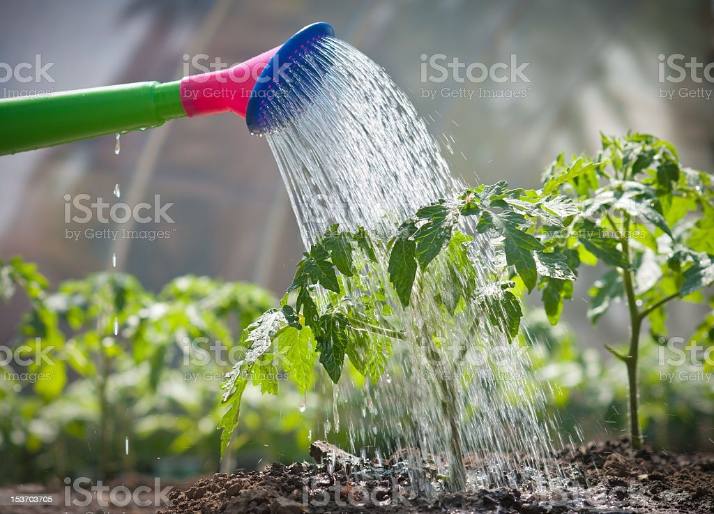 A newly grown tomato seedling being watered  stock photo